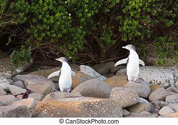 fiatalkori, nz, yellow-eyed, pingvin, vagy, hoiho, part