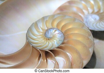 fibonacci, patrón, en, sección transversal, nautilus, coraza...