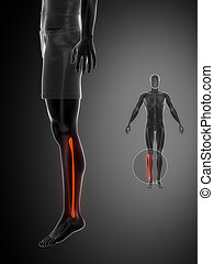 FIBULA black x--ray bone scan