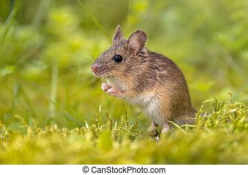 ficar, arredores, rato, madeira, verde