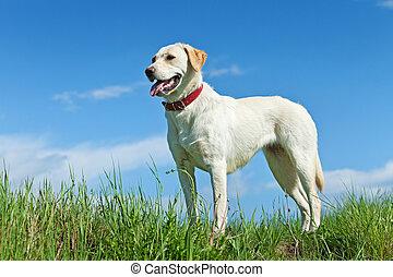 ficar, campo, cão,  springtime
