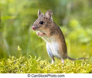 ficar, ereto, arredores, madeira, verde, rato