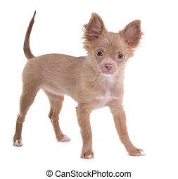 ficar, olhar, chihuahua, isolado, alegre, câmera, fundo, branca, filhote cachorro