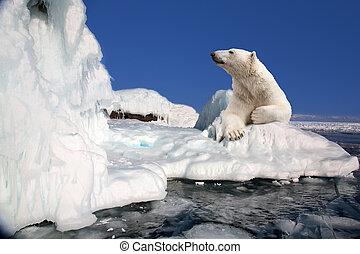 ficar, polar, bloco, urso, gelo