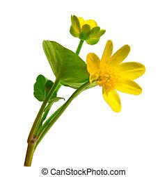 ficaria, fleur, printemps, renoncule, isolé, jaune,...