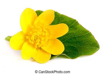 ficaria, printemps, isolé, jaune, verna, fond, fleurs blanches