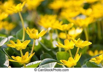 ficaria, printemps, jaune, verna, fond, fleurs