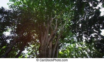 ficus, arbre, sauvage, île, île maurice