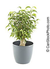 liebling ficus pflanze setzling innen dekorativ bilder fotografien und foto clipart. Black Bedroom Furniture Sets. Home Design Ideas