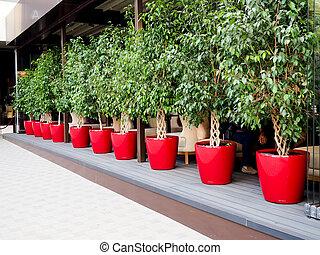 ficus Benjamin outside in red pots.