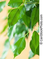 ficus benjamina large green houseplant