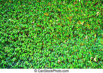 ficus benjamina texture as very nice natural background