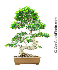 Ficus Bonsai bonsai lonely isolated on white background