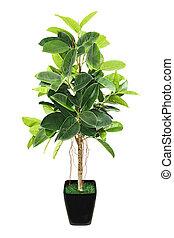 Ficus elastica (Indian Rubber Bush) in black flowerpot on white background.