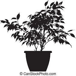 ficus (ficus benjamina linnaeus) - the black vector...