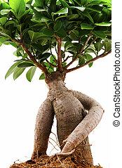 Ficus ginseng on a white background