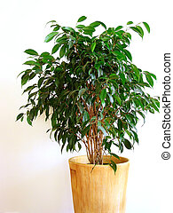 Ficus - Houseplant ficus on white background