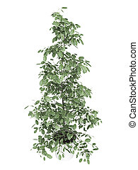 Ficus houseplant in container - Tall ficus, or fig, growing...