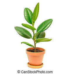 ficus in pot isolated on a white background
