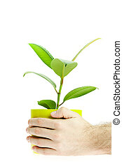 Ficus in the hands isolated on white