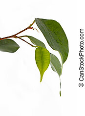 Ficus leaves Isolated on white background