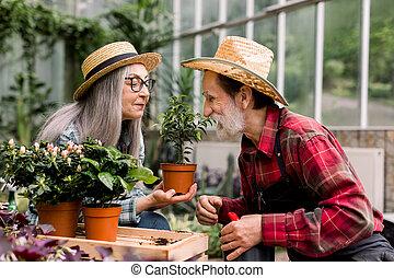 ficus, personnes agées, joli, couple, beau, romantique, cheveux gris, il, image, dame, mains, chapeaux, greenhouse., mari, elle, regarder, pot fleurs, tenue, concept., paille, jardinage, agréable
