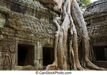 Angkor Wat - Ficus Strangulosa tree growing over a doorway ...