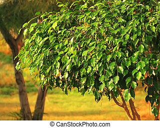 ficus tree. Cyprus. outdoor