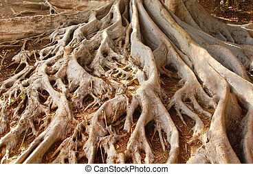 Ficus Tree Roots in Balboa Park - Giant roots of Ficus...