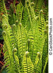 fiddlehead, ferns