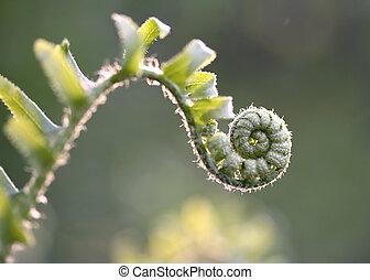 fiddlehead1 - fiddlehead or baby fern in sunris