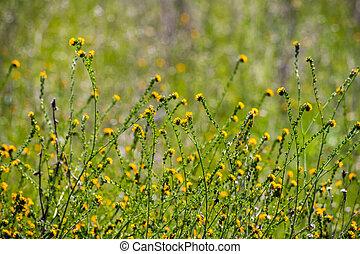 Fiddleneck (Amsinckia tesselata) wildflowers blooming on a meadow, green background; south San Francisco bay area, Santa Clara county, California