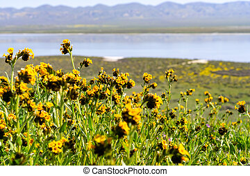 Fiddleneck (Amsinckia) wildflowers blooming in Carrizo Plain National Monument, Soda Lake and the valley visible in the background, California
