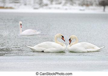 fidelidade, cisnes, amor