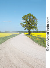field., δρόμοs , canola