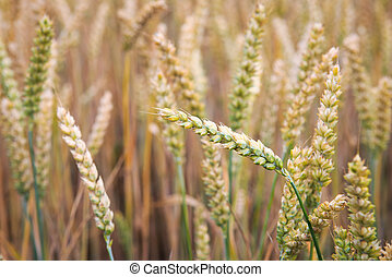 field., 小麥, 耳朵