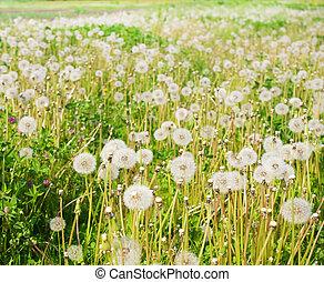 field., 蒲公英, 綠色, 空氣