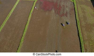 field., aérien, bali, agriculteurs, concept, voyage, riz, ...
