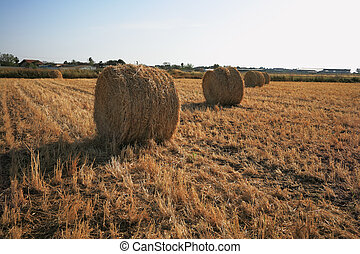Rick gathered wheat - Field after harvest. Rick gathered...