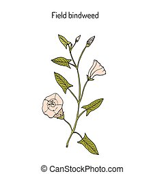 Field Bindweed Convolvulus arvensis . Hand drawn botanical...
