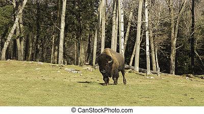 Field Buffalo walking in prairie