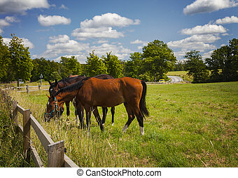 field., cavalos