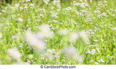 field chamomile