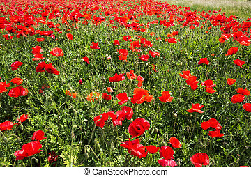 Field coloured in red from poppies