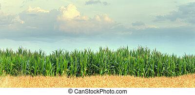 field corn - green field of corn growing up
