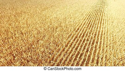 field corn, in rural meadow, Close up, nature Idea of a rich harvest. aerial shot