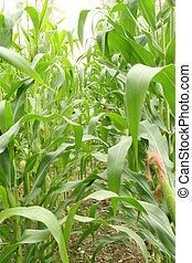 Field corn in the field