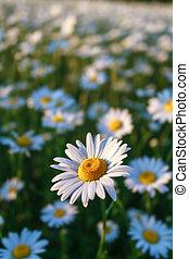 field daisy closeup