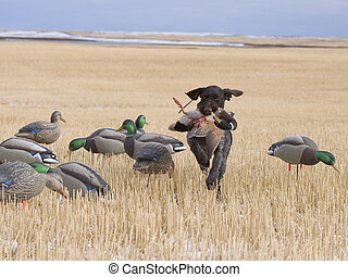 Field Duck hunting - Mallard Drake Shot Duck Hunting