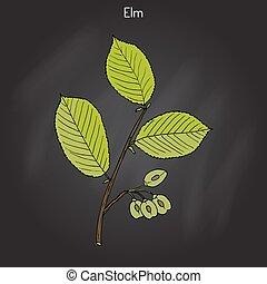 Field Elm Ulmus minor . Hand drawn botanical vector...